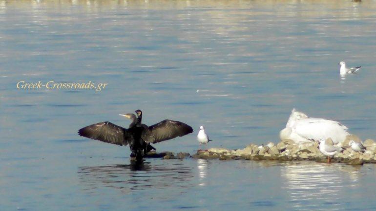 Λίιμνη Κερκίνη πουλιά
