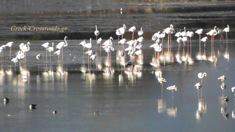 Λίιμνη Κερκίνη φλαμίνγκο