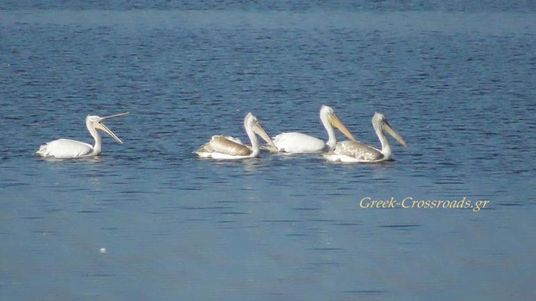 Λίιμνη Κερκίνη πελεκάνοι