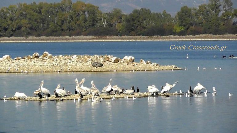 λίμνη Κερκίνη πελεκάνοι